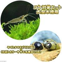 コケ対策セット 大型水槽用 ヤマトヌマエビ(20匹) +(B品)カラーサザエ石巻貝(5匹)