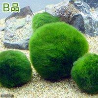 (B品)セイヨウマリモ Lサイズ(約4~8cm)(無農薬)(1個)