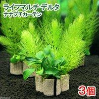 ライフマルチ(茶) デルタ ナナプチカーテン(水上葉)(無農薬)(3個)