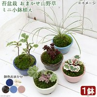 苔盆栽 おまかせ山野草 ミニ小鉢植え 鉢色おまかせ(1鉢)