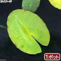 水辺植物 河骨 オゼコウホネ(尾瀬河骨)(1ポット) 浮葉植物