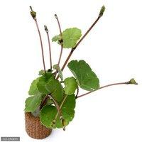 ライフマルチ(茶) アマゾンチドメグサ(水上葉)(無農薬)(1個)