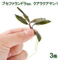 ブセファランドラsp.クアラクアヤン1(無農薬)(水中葉)(3株)