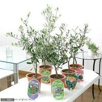 果樹苗 オリーブの木 品種おまかせ 5号(1鉢) 家庭菜園 北海道冬季発送不可