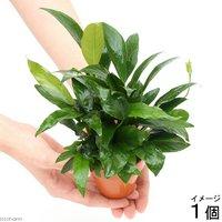 素焼き鉢 寄せ植えミックス Ver.アヌビアス ミックス(1個)