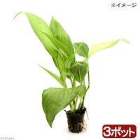 ビバリウムプランツ ヤマサキカズラ(無農薬)(3ポット)