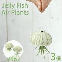 ジェリーフィッシュエアープランツ 品種おまかせ(3個) 北海道冬季発送不可
