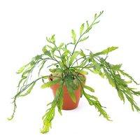 ボルビティス ヒュディロティ 素焼きくん(無農薬)(3鉢)