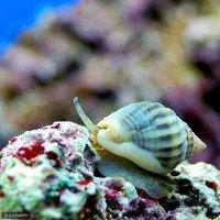 貝 カニノテムシロガイ(1匹)