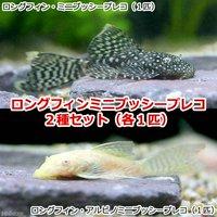ロングフィン・ミニブッシープレコ2種セット(各種1匹)