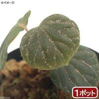 ピペルsp. Papua産(1ポット)