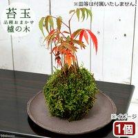 苔玉 ハゼノキ(櫨の木)(1個) 観葉植物 コケ玉 休眠株
