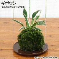 苔玉 ギボウシ(1個) 観葉植物 コケ玉