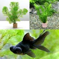 (水草)ライフマルチ(茶) メダカ金魚藻セット+黒出目金(3匹)