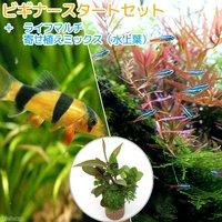 (水草)ビギナースタートセット ネオンテトラ(10匹) +クラウンローチ(2匹)