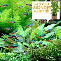 (水草)カージナルテトラ(ブリード)(10匹)+ライフマルチ(茶) おまかせロタラ(1個)