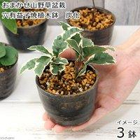 盆栽 おまかせ山野草盆栽 穴有益子焼植木鉢(炭化)(3鉢)