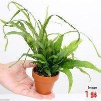 素焼き鉢 寄せ植えミックス Ver.ミクロソリウム ミックス(1鉢)
