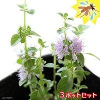 ハーブ苗 ミント ペニーロイヤルミント 3号(3ポット) 虫除け植物 家庭菜園