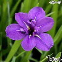 水辺植物 カキツバタ 上原(ウエハラ)紫花(1ポット) 休眠株