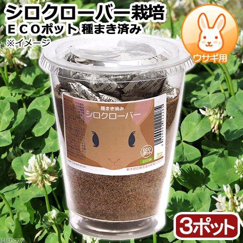 (観葉植物)種まき済み シロクローバー栽培 ECOポット 3ポット 白クローバー 白詰草 シロツメクサ うさぎ用 北海道冬期発送不可