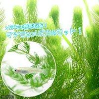 白メダカ初心者セット 白メダカ(6匹)+マツモ(無農薬)(5本)