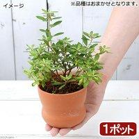 小品盆栽苗 品種おまかせ 3号(1鉢) プラスチック鉢