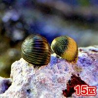 貝 海洋性カノコガイ Sサイズ コケの掃除(15匹)