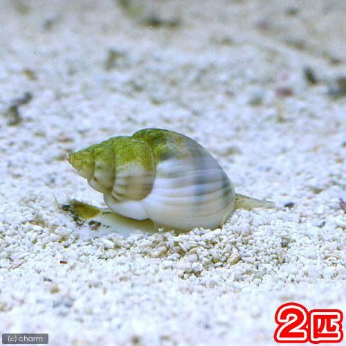 (海水魚 貝 無脊椎)イボヨウバイ 底砂とその他の掃除(2匹) 北海道・九州航空便要保温