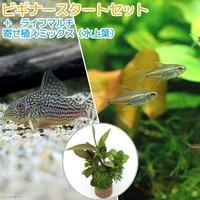 (水草)ビギナースタートセット グローライトテトラ(10匹)+コリドラスステルバイ(1匹)