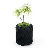 苔盆栽 炭鉢植え コウヤノマンネングサ Sサイズ(1鉢)