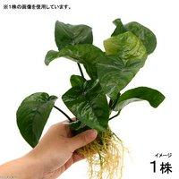 アヌビアス バルテリー バタフライ Mサイズ(1株)