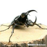 モーレンカンプオオカブトムシ ボルネオ産 幼虫(初~2令)(1匹)