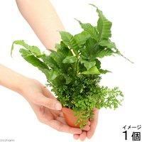 素焼き鉢 2種寄せ植え Ver.テラリウム(1個)
