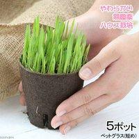 長さで選べる ペットグラス 直径8cmECOポット植え(短め)(無農薬)(5ポット) 猫草