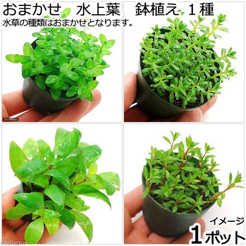 (水草)おまかせ 水上葉 鉢植え 1種(無農薬)