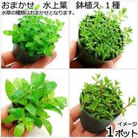 おまかせ 水上葉 鉢植え 1種(無農薬)