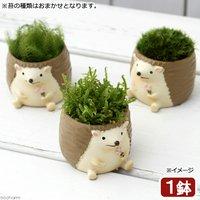苔盆栽 リトルアニマル ハリネズミ(1鉢)