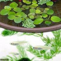 (水草)白メダカ初心者セット 白メダカ(6匹) + おまかせ浮き草3種セット
