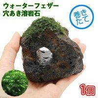 巻きたて ウォーターフェザー 穴あき溶岩石(無農薬)(1個)