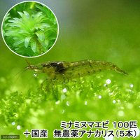 (水草) ミナミヌマエビ(100匹)+国産 無農薬アナカリス(5本)