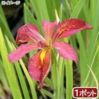 水辺植物 カキツバタ 原種 赤花(1ポット) 休眠株