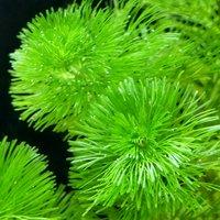メダカ・金魚藻 カボンバ(バラ50本)