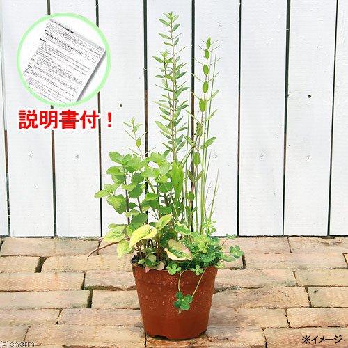 (ビオトープ)水辺植物 インスタント・ビオトープ(寄せ植え)(1鉢)説明書付  (休眠株)