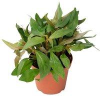 アルテルナンテラ カーディナリス(水上葉) 鉢植え(無農薬)(1鉢)