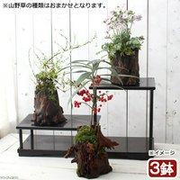 苔盆栽 おまかせ山野草1~2種寄せ植え 切り株流木鉢植え(3鉢)  (休眠株)