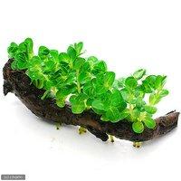 グリーンロタラ 流木付 Sサイズ(水上葉)(無農薬)(1本)(約15cm)
