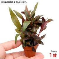 プチ素焼き鉢 おまかせ寄せ植えミックス ~紅葉~(水上葉)(無農薬)(1鉢)