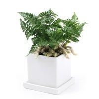 トキワシノブ 陶器鉢植え ダイスM WH(1鉢) 受け皿付き