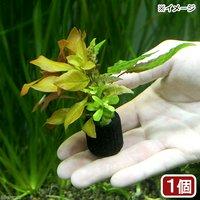 マルチリングブラック(黒) 寄せ植えミックス(水中葉)(無農薬)(1個)